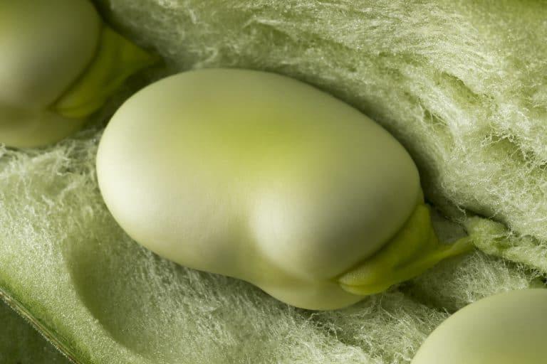 Deutliche Nahaufnahme einer frischen, rohen Puffbohne innerhalb der geöffneten Hülse. Fresh raw broad bean inside the pod close up full frame