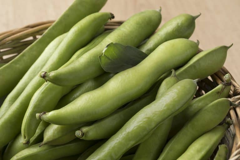 Frische rohe Puffbohnen in der geschlossenen Hülse. Fresh picked raw broad beans in the pod in a basket close up