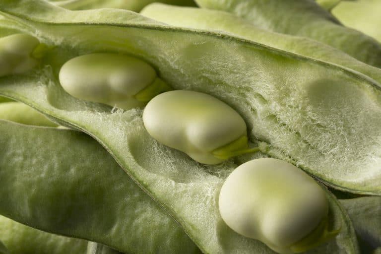 Frische rohe Puffbohnen innerhalb des Hülsenabschlusses,  Fresh raw broad beans inside the pod close up full frame